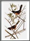 Audubon: Towhee Prints by John James Audubon