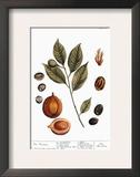 Nutmeg, 1735 Framed Giclee Print by Elizabeth Blackwell