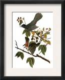 Audubon: Catbird, 1827-38 Framed Giclee Print by John James Audubon