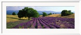 Flowers in Field, Lavender Field, La Drome Provence, France Gerahmter Fotografie-Druck von Panoramic Images