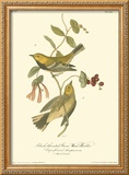 Black-throated Green Wood Warbler Framed Giclee Print by John James Audubon
