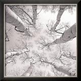 Silver Birch Kunstdrucke von Adam Brock