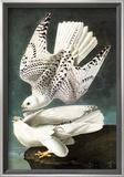 White Gyrfalcon Prints by John James Audubon
