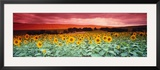 Sunflowers, Corbada, Spain Framed Photographic Print by Panoramic Images