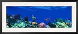 Underwater, Caribbean Sea Framed Photographic Print by  Panoramic Images