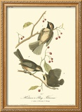 Hudson's Bay Titmouse Framed Giclee Print by John James Audubon