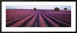 Campo de lavanda, flores fragantes, Valensole, Provenza, Francia Lámina fotográfica enmarcada por Panoramic Images,