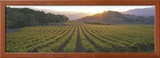 Sunset, Vineyard, Napa Valley, California, USA Framed Photographic Print by  Panoramic Images