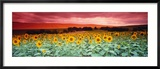 Sunflowers, Corbada, Spain Gerahmter Fotografie-Druck von  Panoramic Images