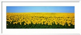 Sunflower Field, North Dakota, USA Photographie encadrée par Panoramic Images