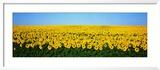 Sunflower Field, North Dakota, USA Gerahmter Fotografie-Druck von  Panoramic Images