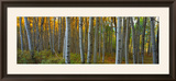 Aspen Grove, Kebler Pass, Colorado, USA Framed Photographic Print by Terry Eggers