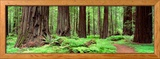 Trail, Avenue of the Giants, Founders Grove, California, USA Framed Photographic Print by  Panoramic Images