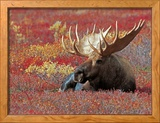 Bull Moose in Denali National Park, Alaska, USA Framed Photographic Print by Dee Ann Pederson