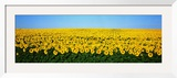 Sunflower Field, North Dakota, USA Framed Photographic Print by  Panoramic Images