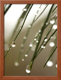 Rain Drops on Pine Branch Needles Framed Photographic Print by Eric Kamp