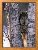 Gray Wolf Near Birch Tree Trunks, Canis Lupus, MN Ingelijste fotodruk van William Ervin
