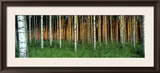 Birch Trees, Saimma, Lakelands, Finland Framed Photographic Print by  Panoramic Images