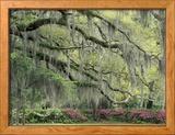 Live Oak Tree Draped with Spanish Moss, Savannah, Georgia, USA Gerahmter Fotografie-Druck von Adam Jones