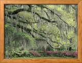 Live Oak Tree Draped with Spanish Moss, Savannah, Georgia, USA Framed Photographic Print by Adam Jones