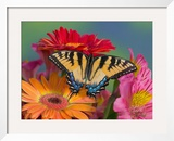Eastern Tiger Swallowtail Female on Gerber Daisies, Sammamish, Washington, USA Framed Photographic Print by Darrell Gulin