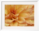 Dahlia Flower with Pedals Radiating Outward, Sammamish, Washington, USA Framed Photographic Print by Darrell Gulin