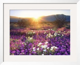 Sand Verbena and Dune Primrose Wildflowers at Sunset, Anza-Borrego Desert State Park, California Framed Photographic Print by Christopher Talbot Frank
