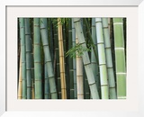 Bamboo Forest, Kyoto, Japan Framed Photographic Print by Rob Tilley