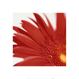 Gerbera Bright Red on White Detail II Prints by Michael Banks
