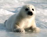 Harp Seal Pup Art Print Poster Posters