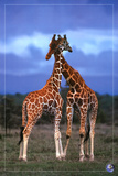 High Love, Save Our Planet (Giraffes) Poster