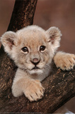 Lion Cub on Branch Art Print Poster Prints