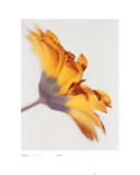 Gerbera 2, Bright Yellow On White Prints by Michael Banks