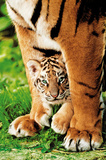 Bengal Tiger Cub (With Mom) Photo Print Poster Posters
