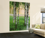 Birkenwald Fototapete Wandgemälde