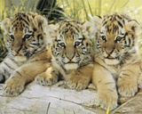 Three Tiger Cubs (On Log) Art Poster Print Posters