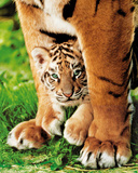Bengal Tiger Cub (Animal) Photo Print Poster Poster