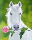 White Horse (Holding Pink Rose) Art Poster Print Prints