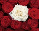 Leito de rosas, vermelho e branco, pôster da impressão artística  Pôsters