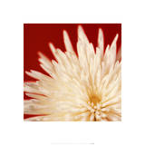 Chrysanthemums White on Dark Red Posters by Michael Banks