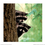 Baby Racoons Print by Jacob Tapochamer