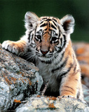 Tiger Cub Art Print Poster Photo