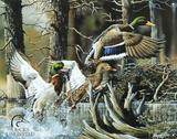Patos alzando el vuelo en un estanque Cartel de chapa