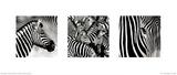 Zebras Triptych Láminas