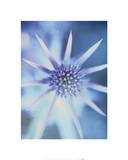 Sea Holly Prints by Carol Sharp