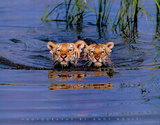 Cute Tiger Cubs Swimming in Lake Art Print Poster Prints