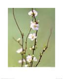 White Japonica Kunstdrucke von Natalie Lane
