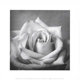 White Rose (Photo) Posters