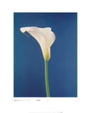 Calla Lily, Nature's White on Deep Blue Prints by Masao Ota