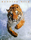 Running Wild (Tiger in Water) Art Poster Print Print